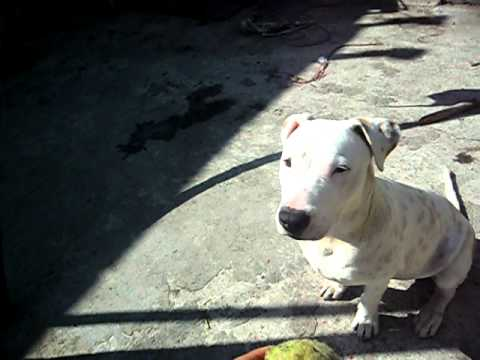American Pitbull Terrier en venta Monterrey Nuevo Leon
