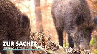 Die Wildschweine sind los | Zur Sache Rheinland-Pfalz