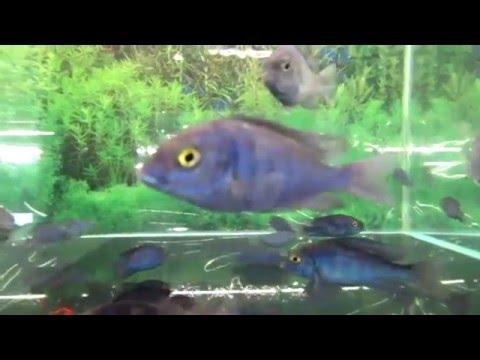 Аквариумная рыбка - дельфин голубой