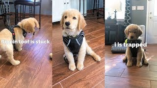 My Puppy Wears a Harness for the First Time