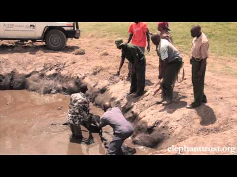 Five Days Old Baby Elephant Rescued from Muddy Pond