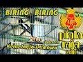 Download Video PIALA RAJA 20 : Kacer BIRING BIRING Tampil EXOTIC Di Kelas Jogja Istimewa MP4,  Mp3,  Flv, 3GP & WebM gratis