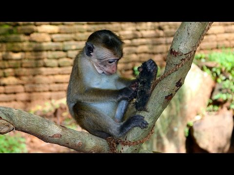 Funny and Cute Monkeys in Sri Lanka - Monkeys Stealing Banana