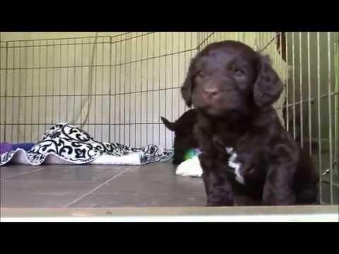 Snickerdoodles puppies 4 weeks