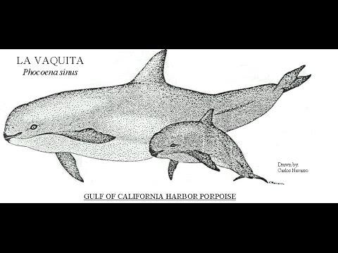 Vaquitas, the most endangered marine mammal