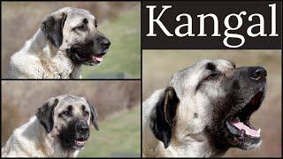 Kangal (Anatolian Shepherd) | Casual Conversation