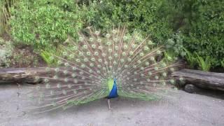 blauer pfau macht herrliches rad im zoo zürich
