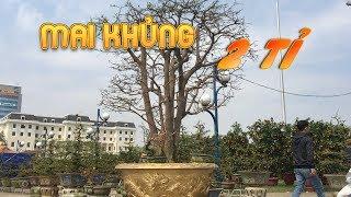 """Cận cảnh cây mai """"khủng"""" giá 2 tỉ ở Đà Nẵng chưa ai mua được"""