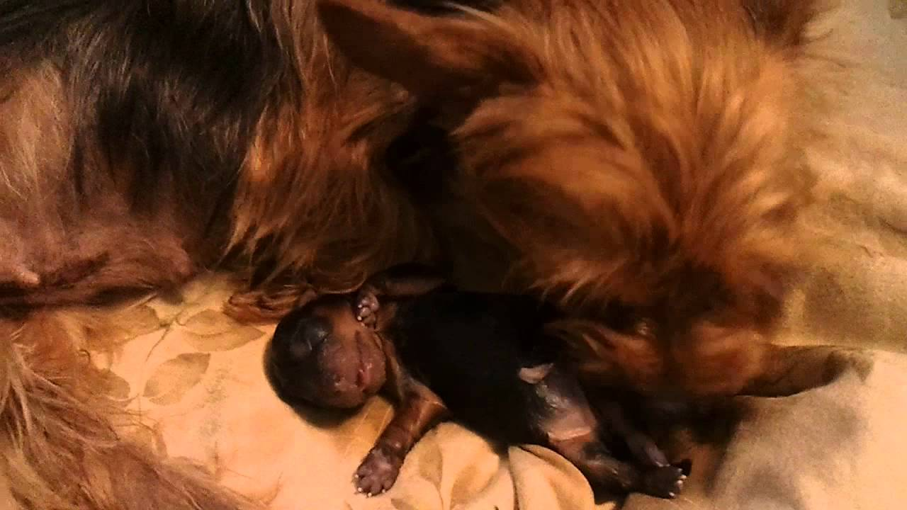 Yorkie Giving Birth To Her First Puppy