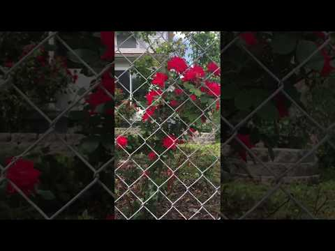 Roses behind a fence on Independence Avenue in North East Kansas City, Missouri
