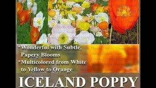ICELAND POPPY - Papaver nudicaule  FLOWER SEEDS on  www.MySeeds.Co