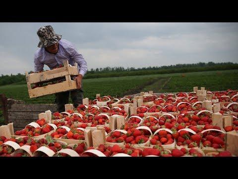 Урожай клубники в Таджикистане и фонтаны в Кыргызстане