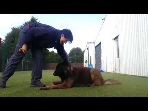 How to Get an Obedient Tervuren Shepherd