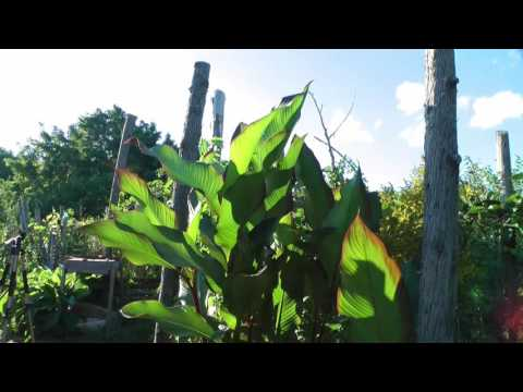 Growing tropical plants in my cold climate backyard - update