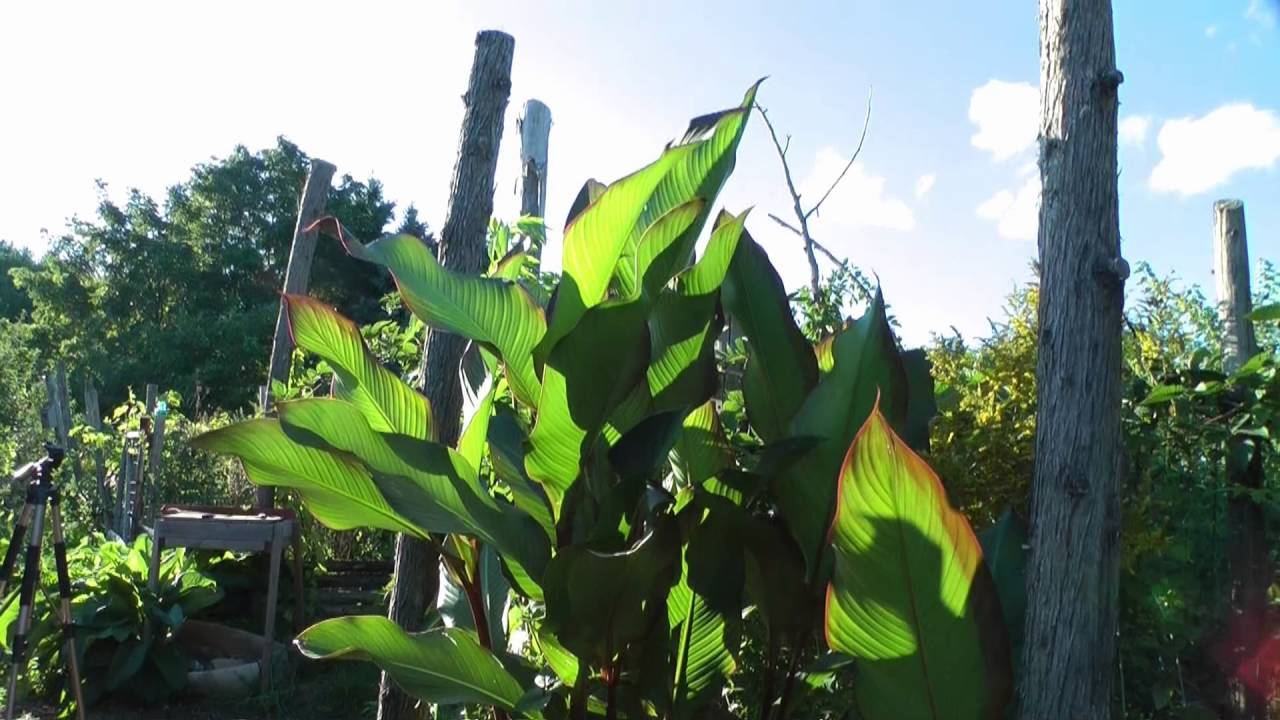 Growing tropical plants in my cold climate backyard - update - Growing Tropical Plants In My Cold Climate Backyard - Update - YouTube