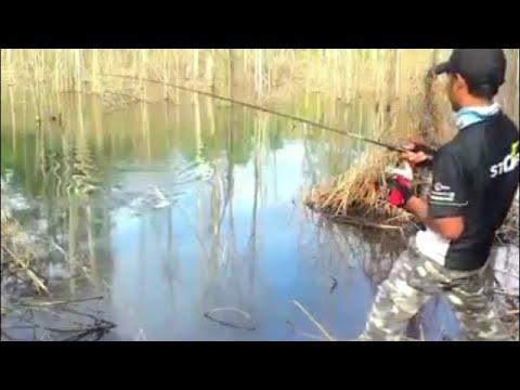 Casting Ikan Gabus Di Danau Hutan Kalimantan Timur By Iwak Haruan