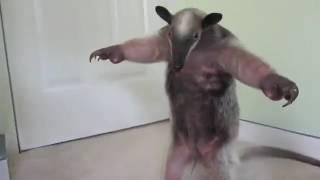 Смешные животные, кенгуру