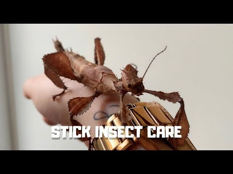 Spiny Leaf Stick Insect | Care And Set Up