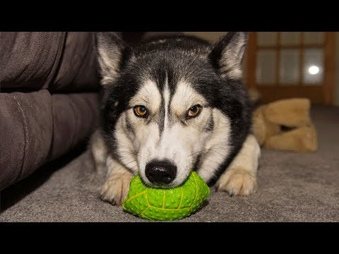 Husky/Malamute Hatches Clever Christmas Plan