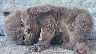 Британский длинношерстный котенок. девочка.  Д.р.26.05.13