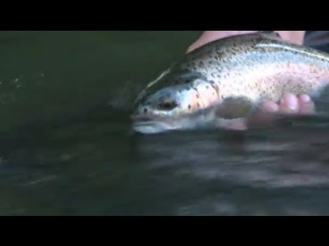 Fly Fishing Wild Rainbow Trout, Yakima River, Washington State