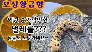 손가락만한  이렇게 큰벌레 이름은?