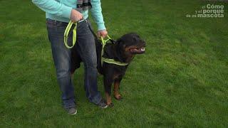 PSY – Spacer z dużym psem.