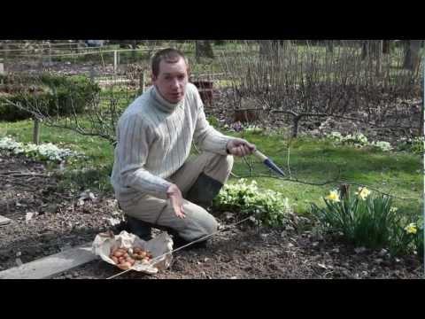 Reussir la plantation des oignons