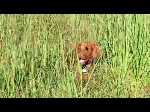 Hunting Dog Training With Vizsla