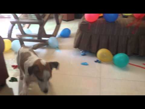 Balloon popping jack russell