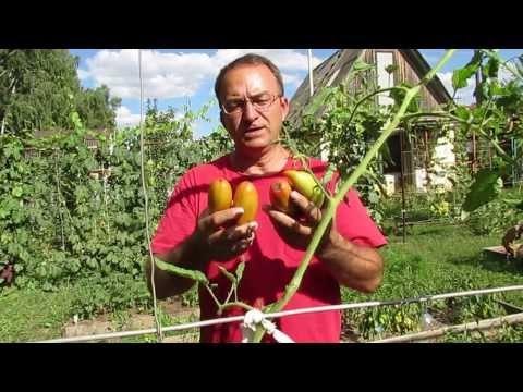Урожай помидоров сорта Перцевидные после затяжных ливней.