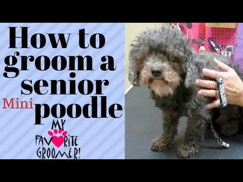 How to groom a senior poodle