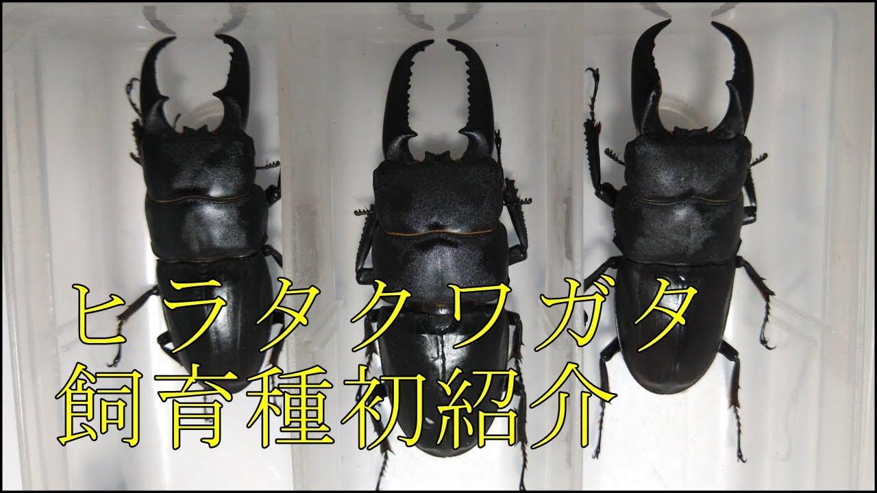 クワガタ飼育種紹介 ヒラタクワガタ、イキヒラタクワガタ、サキシマヒラタクワガタ