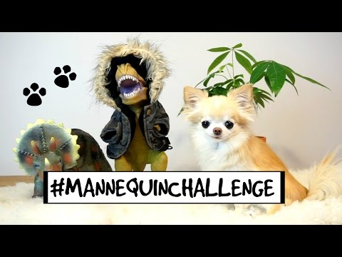 CUTE puppy size chihuahua MANNEQUIN CHALLENGE