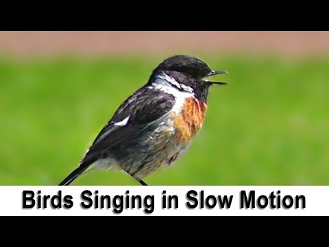 Birds Singing and Chirping in Slow Motion with Slowed Down Bird Song