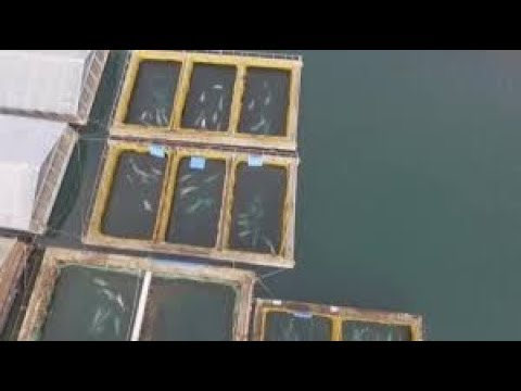Drone captures 'whale prison' in Nakhodka Bay - Russia