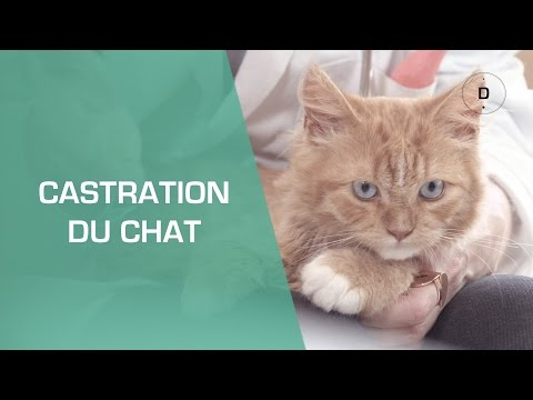 La castration du chat  - Animaux