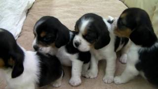 MIX犬の子犬 ビーグルxキャバリア 2009年12月30日生まれ 札幌・旭川のペ...
