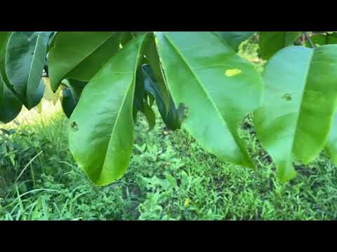 ต้นหลุมพออายุ2ปีปลูกที่ปทุมธานี EP.108