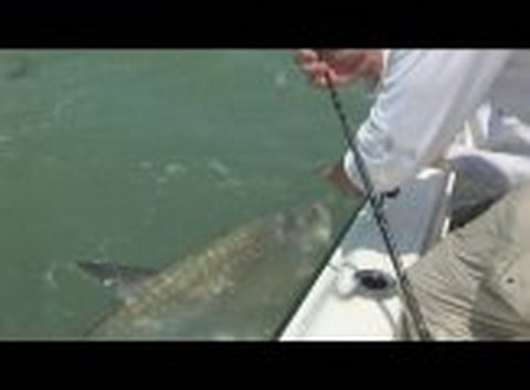 Tarpon Fishing Florida Charters Guides Trips! Big Tarpon Over 100 Pounds!