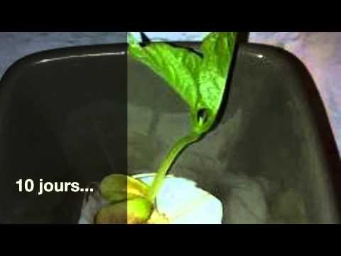 Faire pousser un haricot dans du coton youtube - Faire pousser un bananier ...