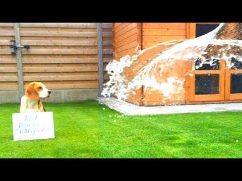 BEAGLE Does ALS Ice Bucket Challenge : Cute Beagle Louie