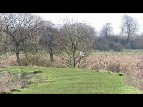 Barn Owl hawking along Beverley Beck on Swinemoor, East Yorkshire