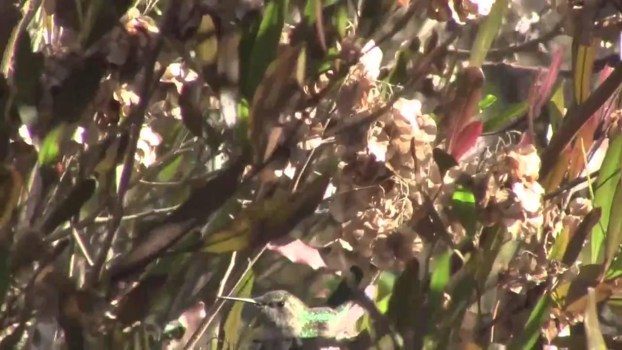 le nid de l 39 oiseau mouche nesting hummingbird san diego ca youtube. Black Bedroom Furniture Sets. Home Design Ideas