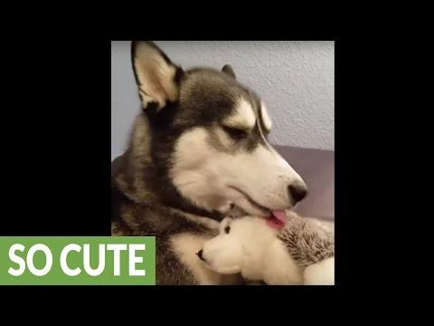 husky-displays-motherly-instincts-with-stuffed-animal