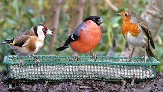 Garden Birds Extravaganza - Pájaros - Vögel - Oiseaux - Vogels - Fåglar