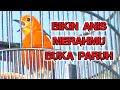 Suara Anis Merah Bersautan  Mp3 - Mp4 Download