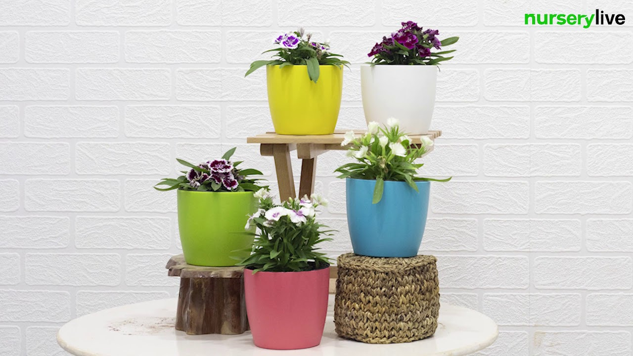Set of 5 Beautiful Dianthus Plants - YouTube