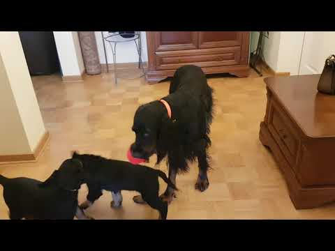Scottish Coffee FCI - Play with mother II - Gordon Setter puppies 8 week