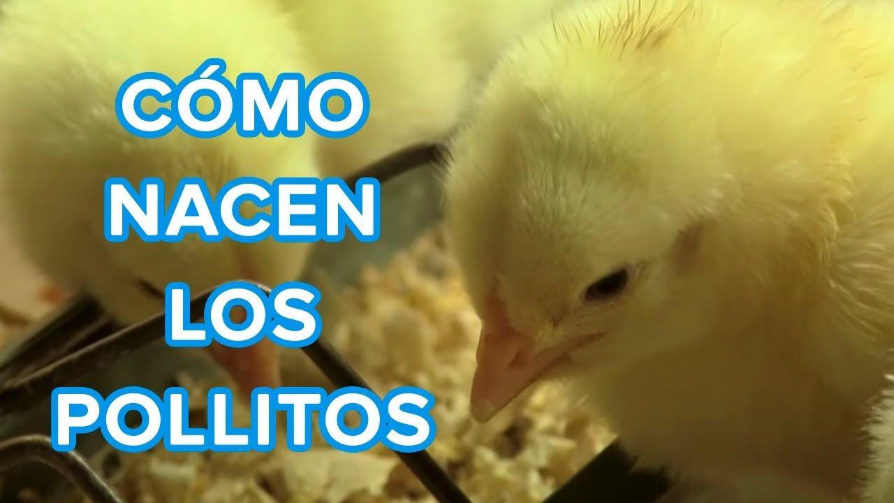 cuanto crece un gallo